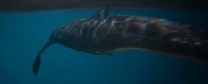 Whale | Atlas Wiki